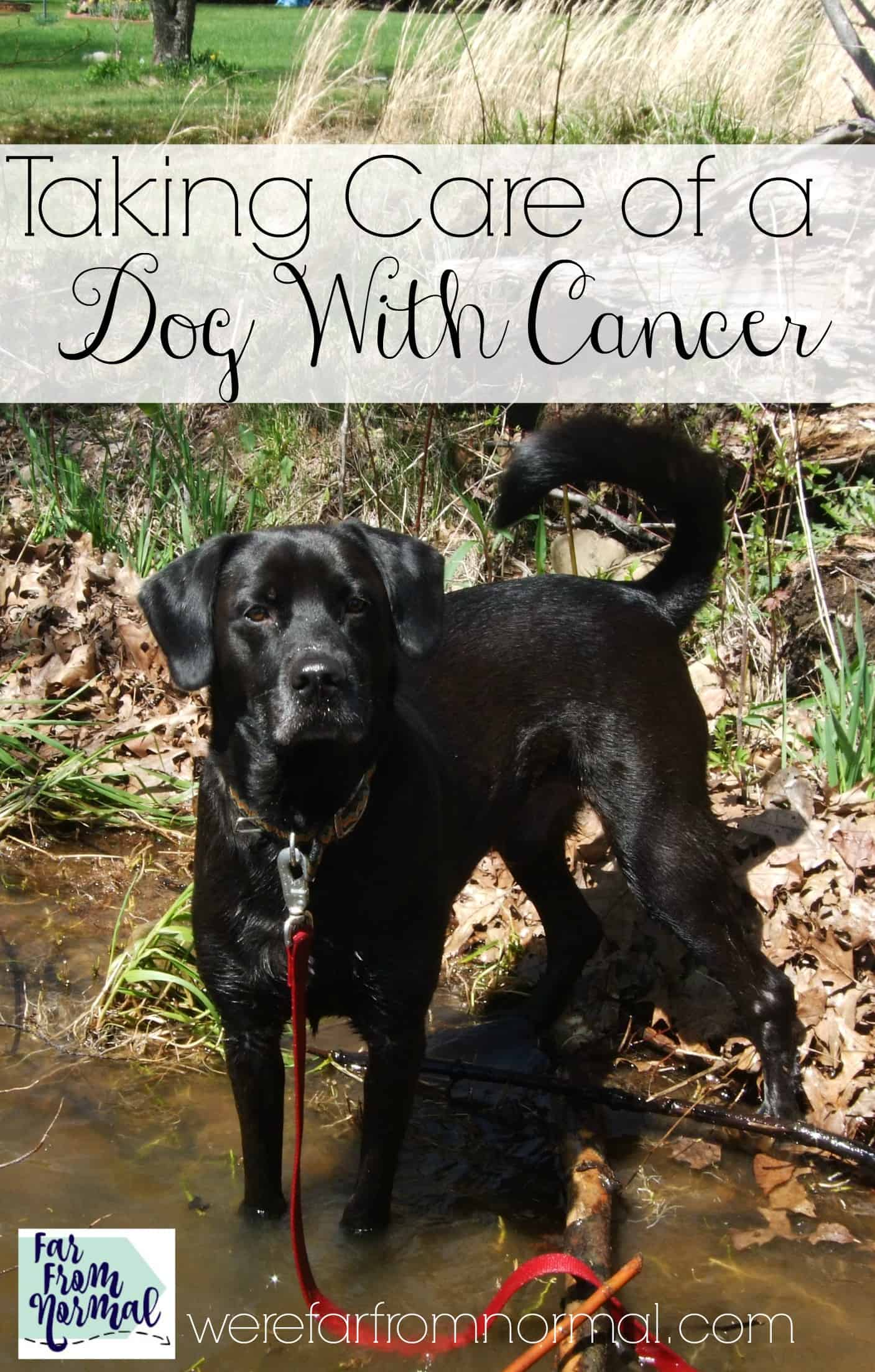 Taking Care of a Dog With Cancer